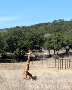 Natural Bridge Wildlife Ranch: Tower Creek Grand Opening