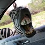 Zebra Teeth | SensiblySara.com