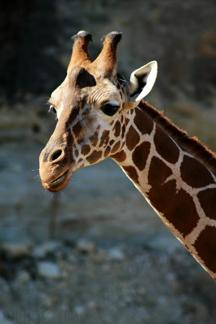 Giraffes | SensiblySara.com