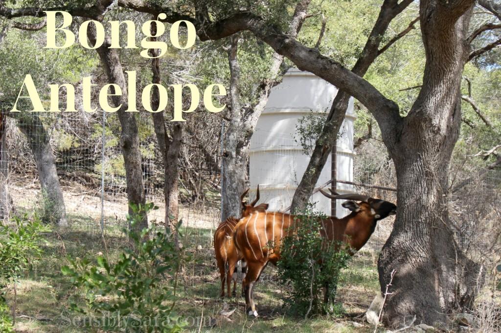 Bongo Antelope | SensiblySara.com
