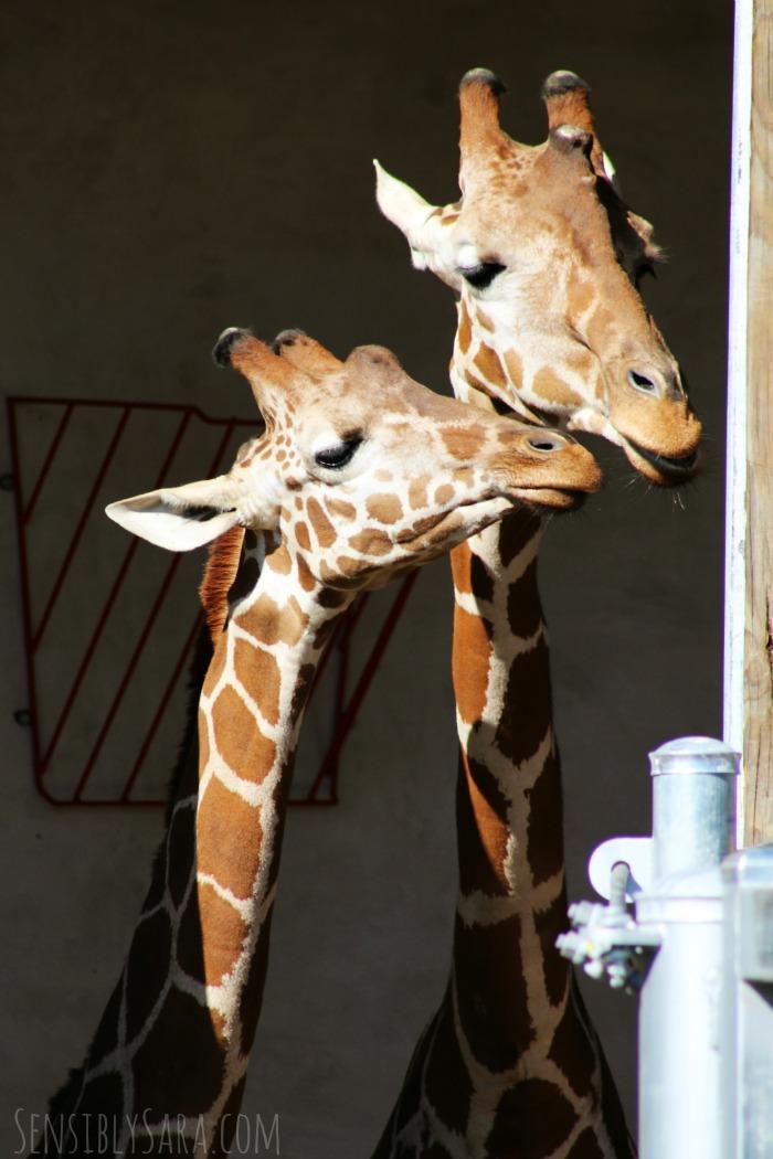 Giraffes at the San Antonio Zoo | SensiblySara.com
