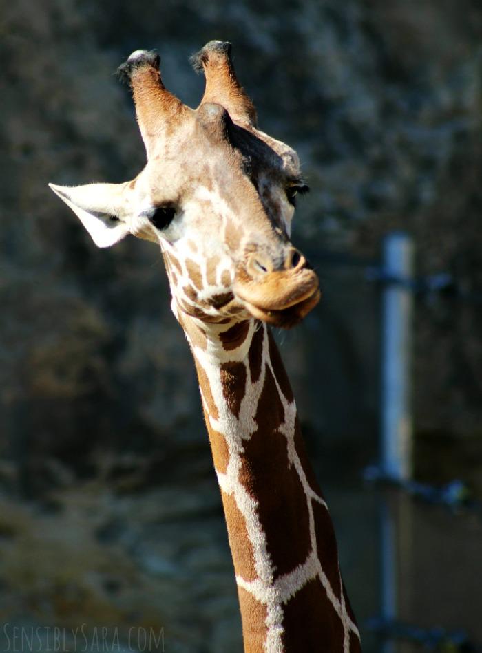 Giraffe Funny Face | SensiblySara.com