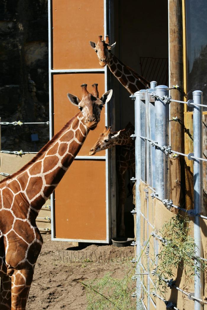 3 Giraffes at the San Antonio Zoo | SensiblySara.com